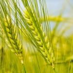 افزایش 43 درصدی «بیمه زراعت» در شهرستان سرخس