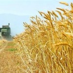 اجرای طرح «پایش» در مزارع گندم سرخس