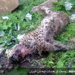 کشته شدن ششمین پلنگ ایرانی در سرخس+تصاویر