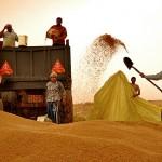 خرید تضمینی ۴۵۰۰ تن گندم در سرخس/ کشاورزان درخواست خود را در سامانه «پهنهبندی» ثبت کنند