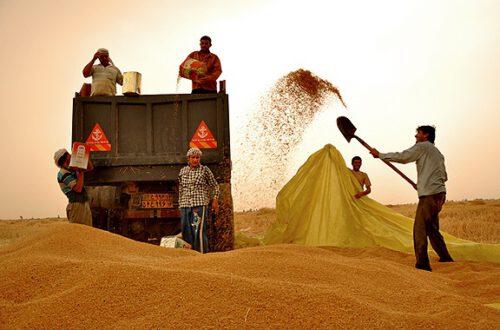 کاهش ۵۰ درصدی تولید گندم در سرخس