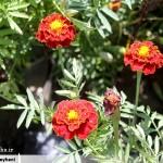 سایت گل شهرداری سرخس