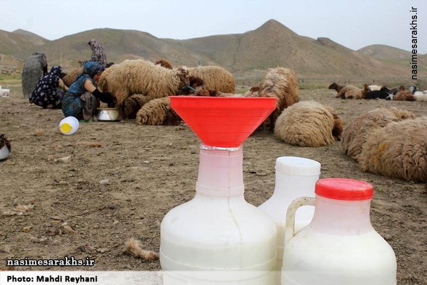 تصاویر/ شیر دوشی در روستای شوریجه سرخس