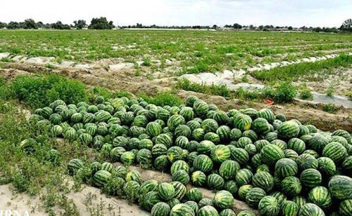 اختصاص ۷۵۰ هکتار از اراضی سرخس به کشت هندوانه/ اولین تولید هندوانه استان از سرخس روانه بازار می شود