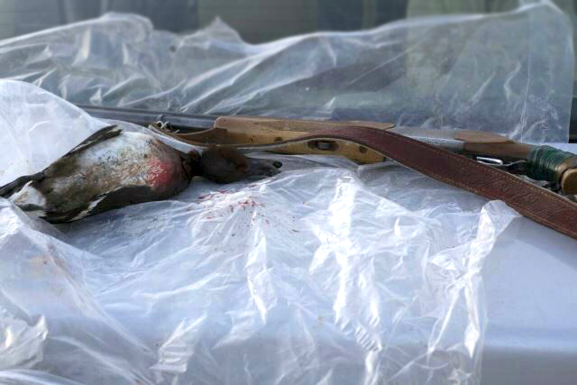 جریمه 8 میلیون ریالی شکارچی اردک بلوطی در سرخس