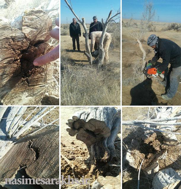 ماجرای قطع درختچههای «تاغ» دهستان خانگیران سرخس چیست؟/ منابع طبیعی: درختچههای تاغ به دلیل آفتزدگی هرس میشوند+ سند