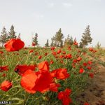 «دشتهای شقایق» جاذبه طبیعی سرخس+ تصاویر