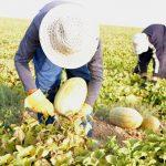 کشت نشائی محصولات جالیزی برای نخستین بار در سرخس/ میزان مصرف آب در مزارع جالیزی ۳۰ درصد کاهش یافت