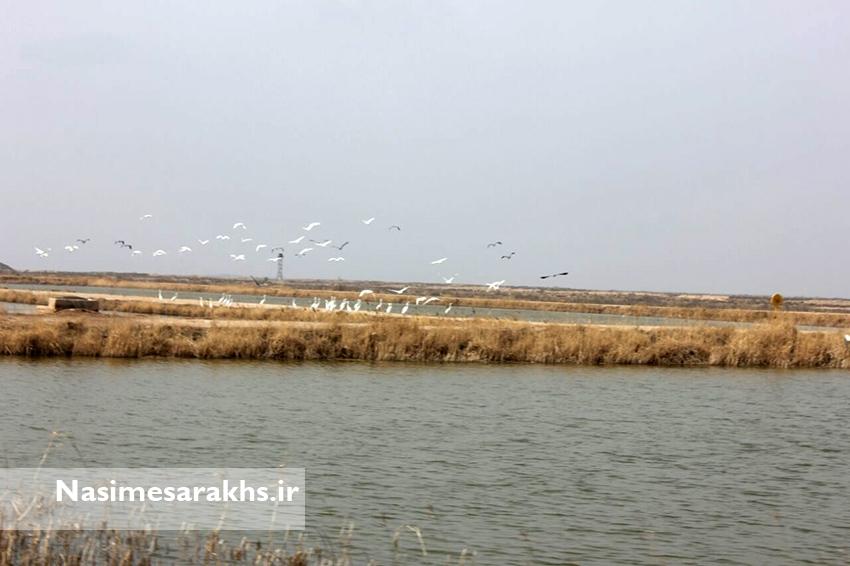 زیستگاههای آبی سرخس پایش شد/ «سرخس» کریدور مهاجرت پرندگان آبزی و کنار آبزی است