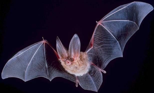 «شایعه»، سودجویان صید غیرمجاز خفاش را به سرخس کشاند/ ارزش درمانی «بزاق» و «لانه» خفاش کذب است