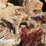 دستگیری شکارچیان حرفهای قوچ وحشی در سرخس