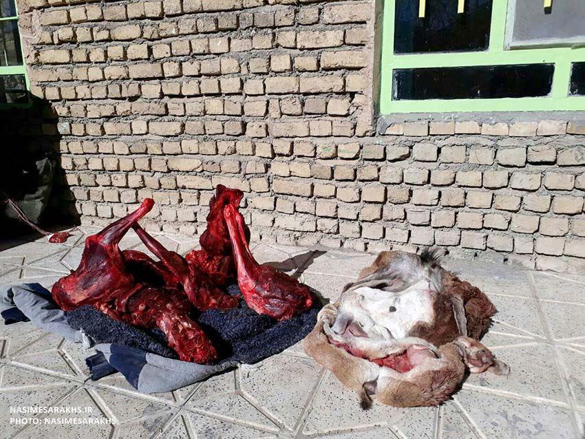 لاشه قوچ وحشی در منطقه جنگل خواجه سرخس کشف شد