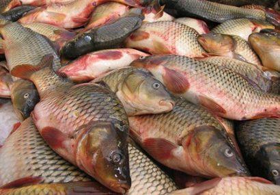 رتبه اول سرخس در تولید ماهیان گرمابی خراسان رضوی