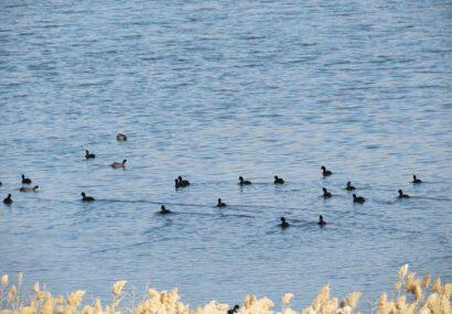 عروس دریاچههای ایران میزبان بیش از ۱۰۰۰ پرنده مهاجر