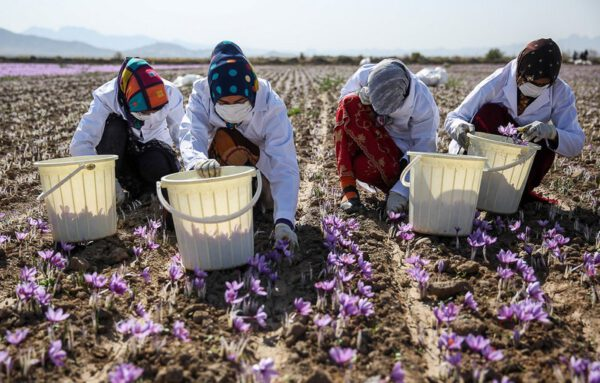 شورای ملی زعفران به تعهداتش عمل نکرد/ خرید از کشاورز ۹ میلیون تومان، صادرات به اروپا ۴۰ میلیون/ زنگ خطر نابودی ۷۰ هزار اشتغال مستقیم