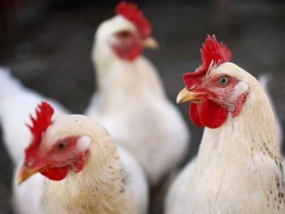 تشکیل ۶ پرونده گرانفروشی مرغ زنده در سرخس